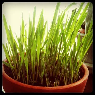 catgrass.JPG