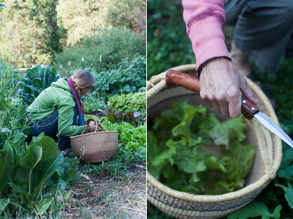 lettuce_harvest.jpg
