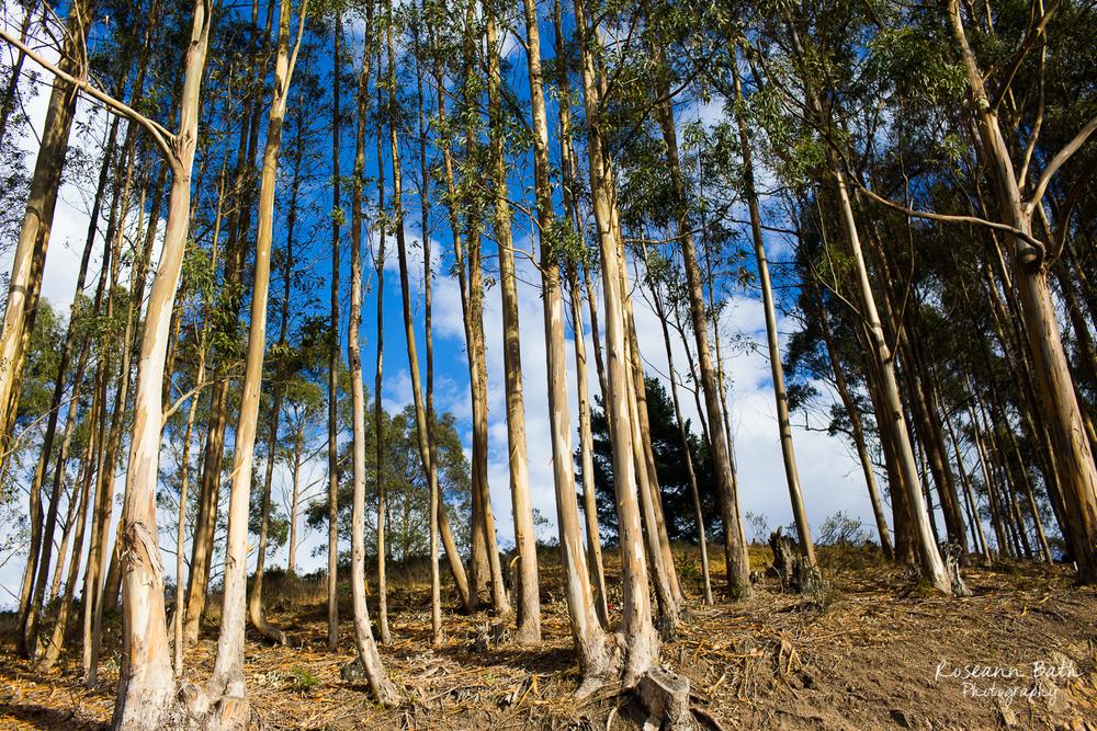 skinny eucalyptus