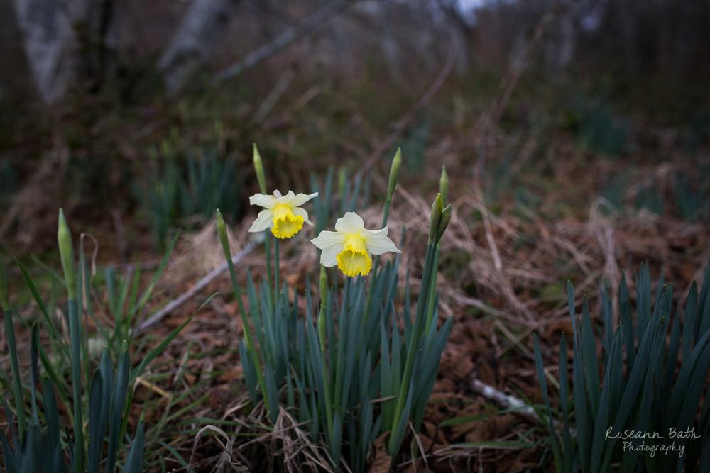 gloomy daffodils