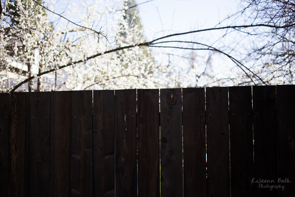 fence and blossoms