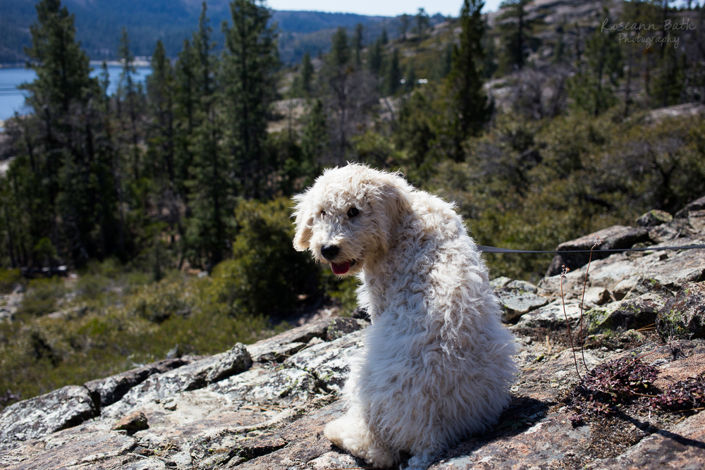 goldendoodle puppy on a hike