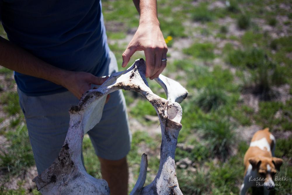 cow pelvic bone