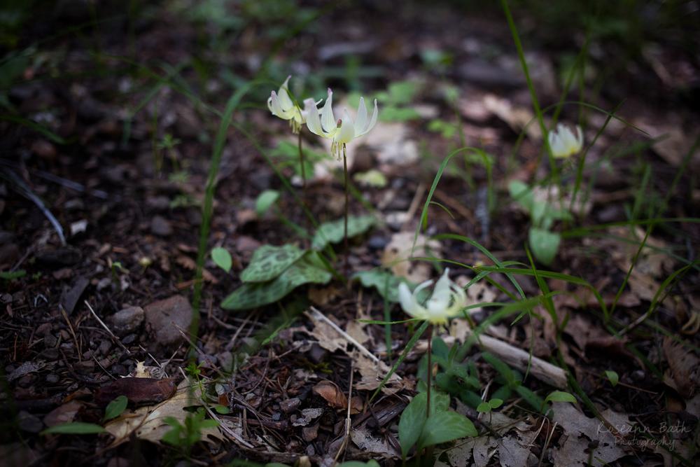 california fawn lily erythronium