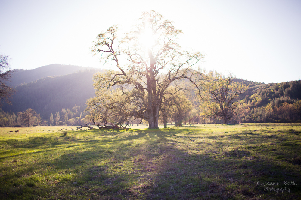 valley oak