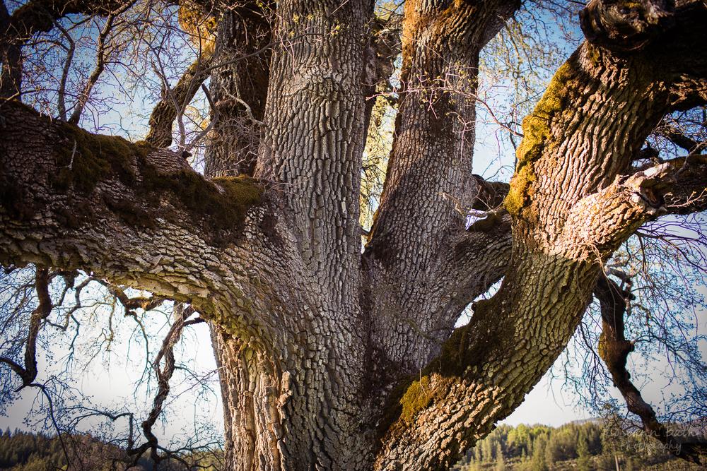 old valley oak