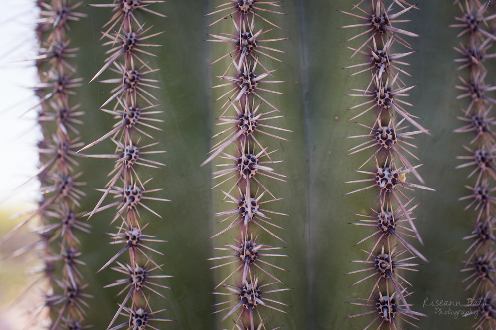 saguaro spines up close macro