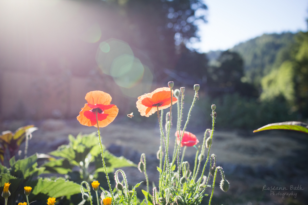 poppies and bees in the morning sun