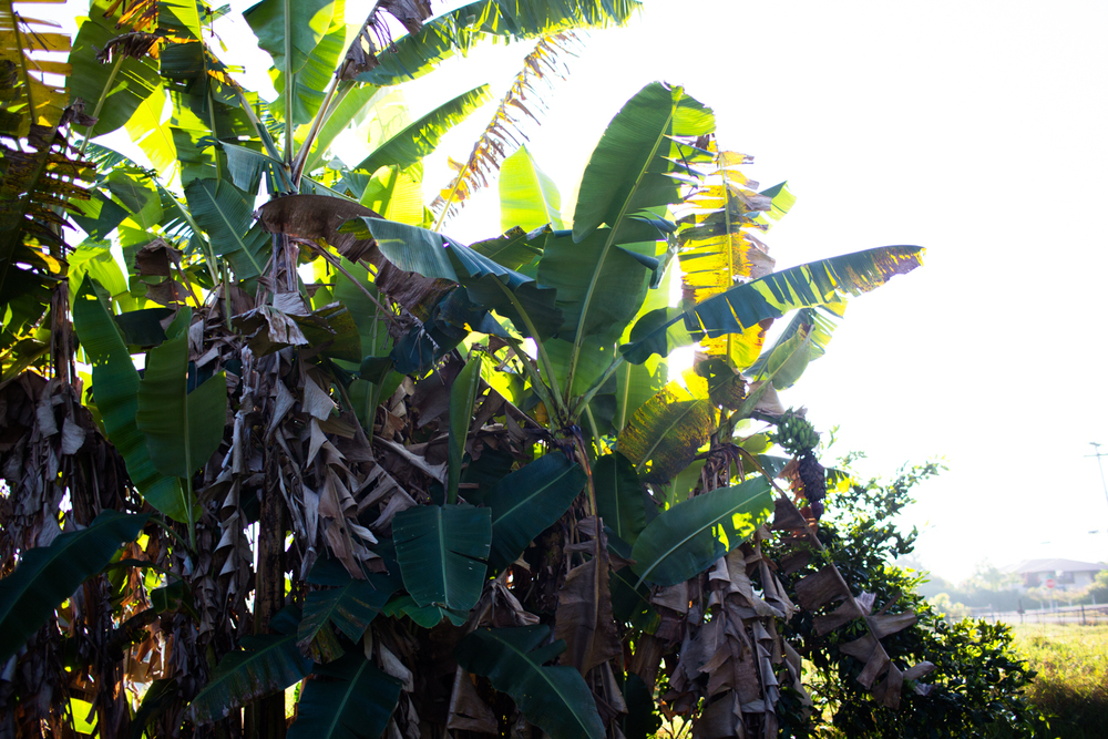 banana trees in morning light