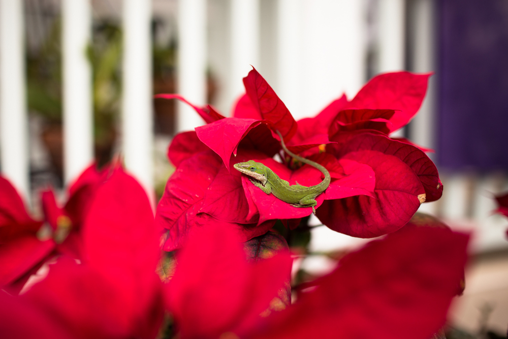gecko on poinsettia