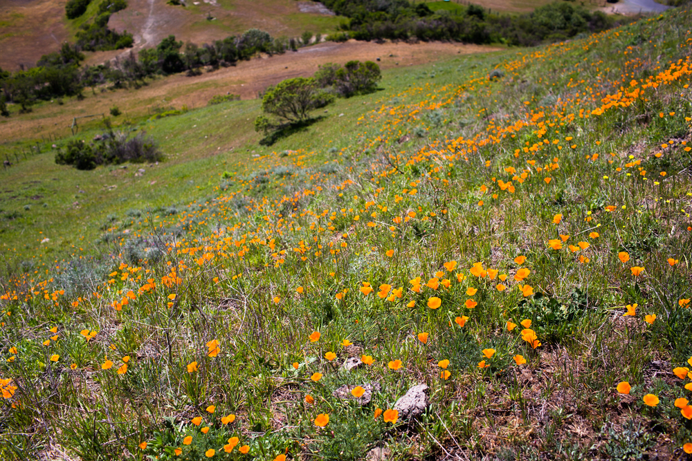 california poppies at sibley volcanic regional preserve