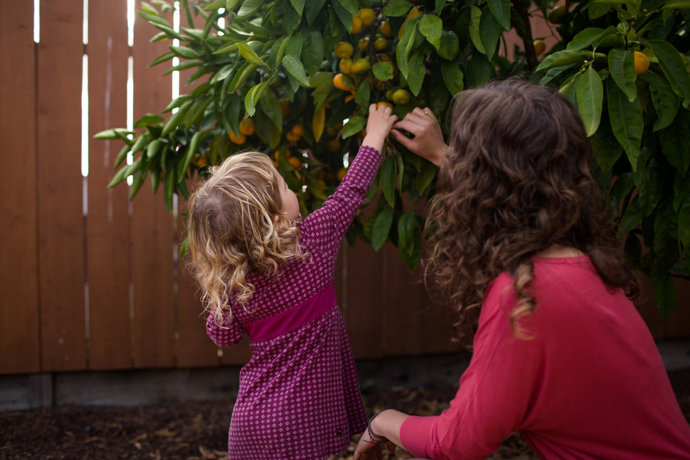 picking mandarin oranges with mom