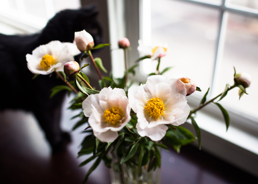 peonies and kitties