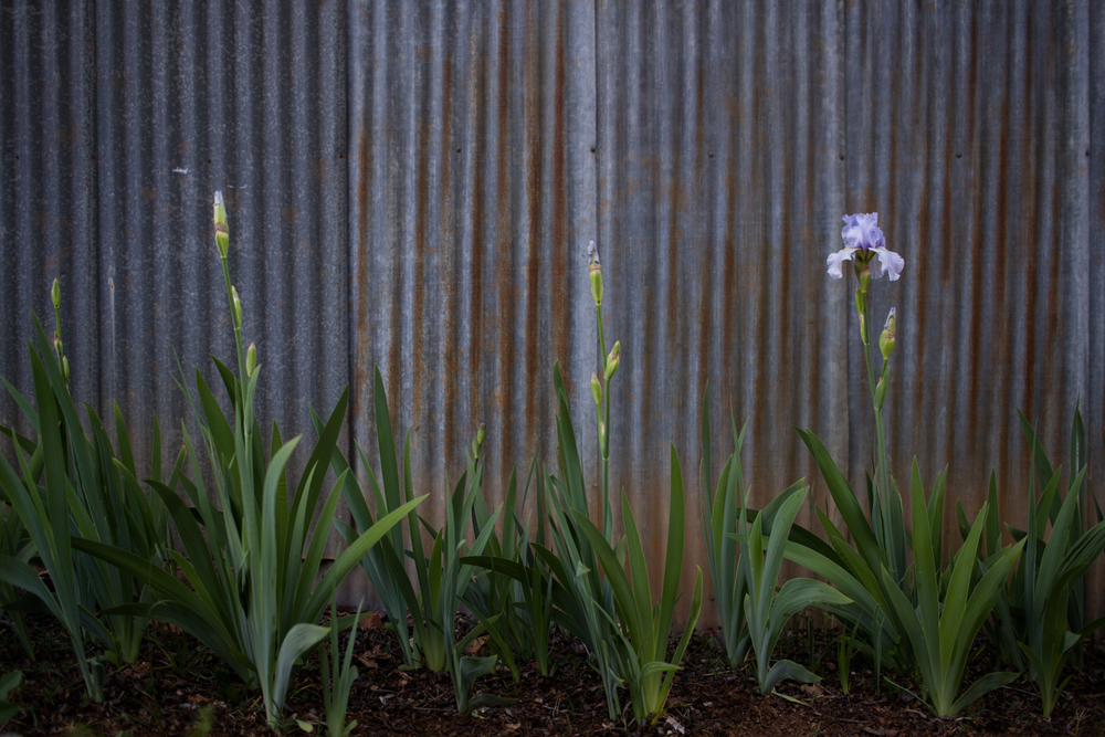 nevada county lifestyle photographer irises in bloom