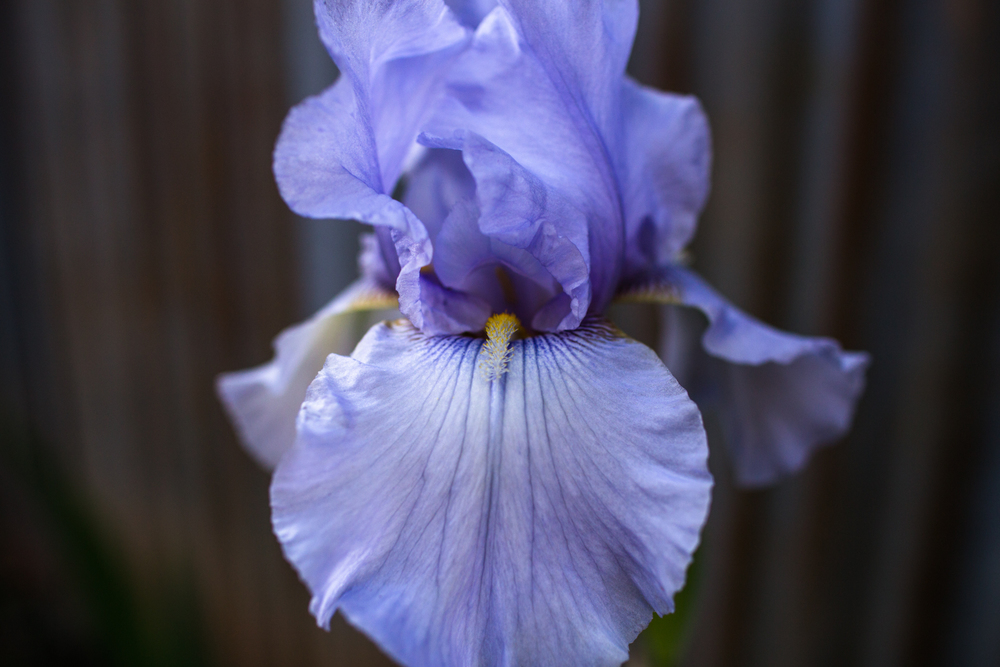 nevada county lifestyle photographer close up iris in bloom