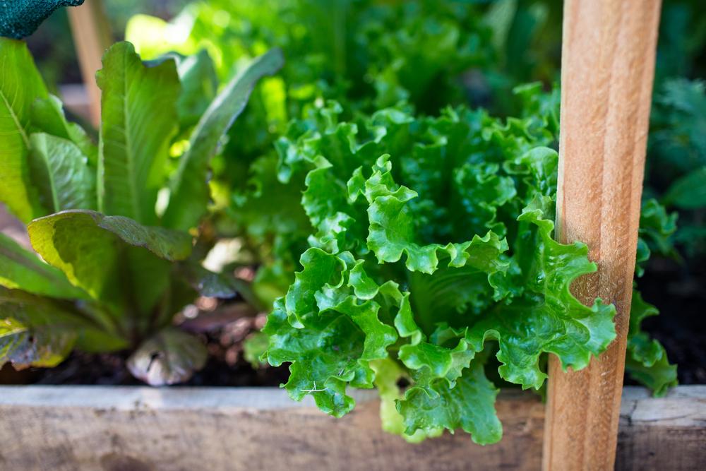 lettuce grass valley natural light photographer