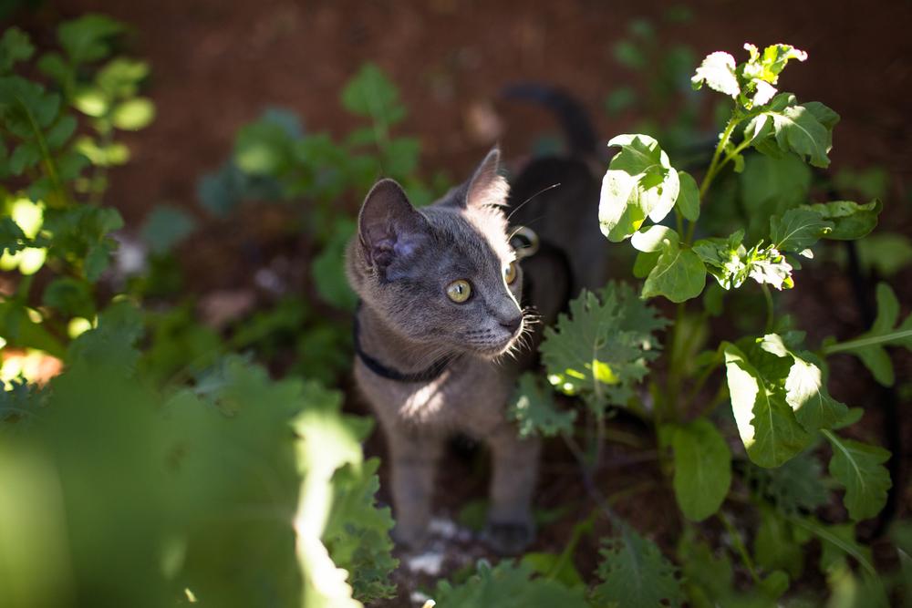 kitten in the arugula