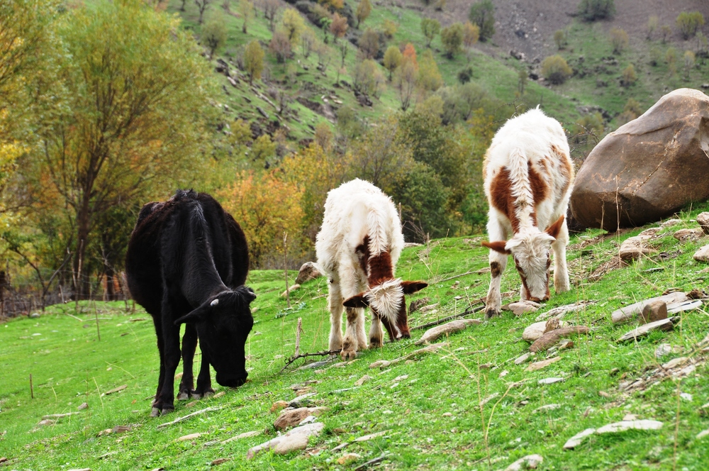 Cows in the Countryside.jpg