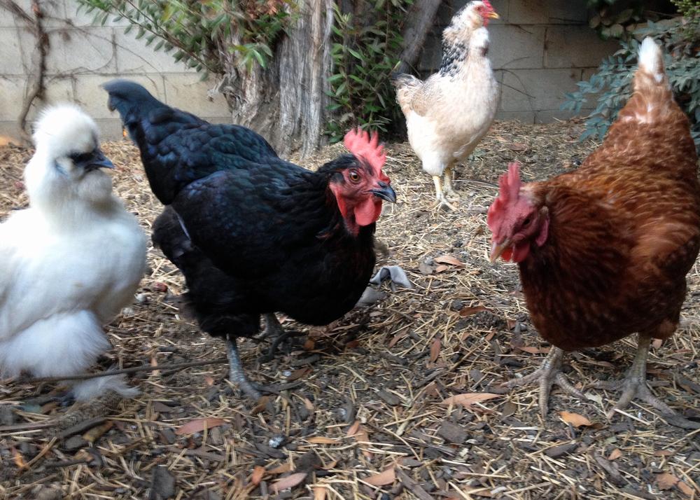NerdHaven Chickens.JPG