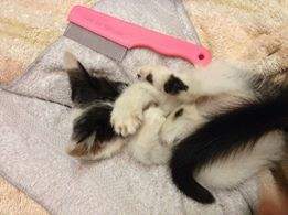"""This is how tiny he was when he arrived at our shelter loaded with fleas. The fleas kept traveling toward his face so he is covering his eyes to protect them. He wasn't much larger than that pink flea comb you see him laying next to. We couldn't believe how many fleas could be on an itty bitty kitty!"""