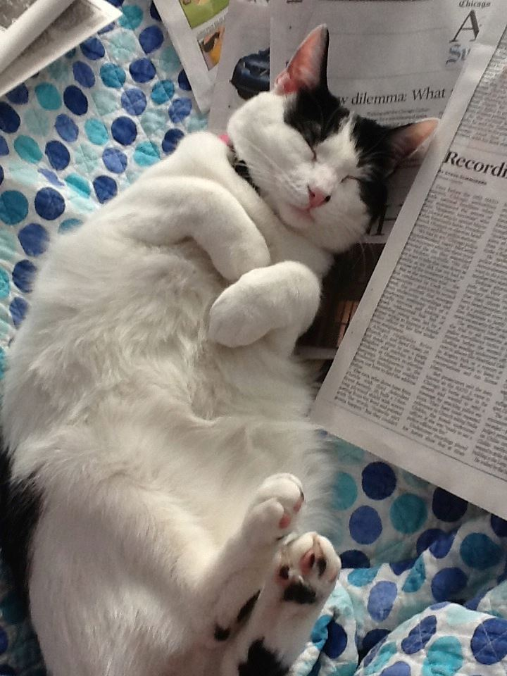 "From Terra: ""Here is our sweet Ragamuffin today, he still loves to lie on his back in the sun after reading the paper!"""