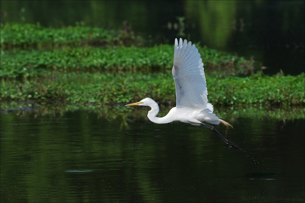 Great Egret flying over wetlands pond