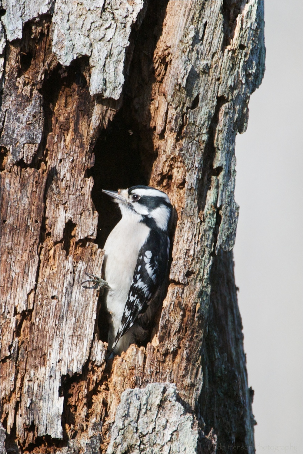 Female Downy Woodpecker in tree