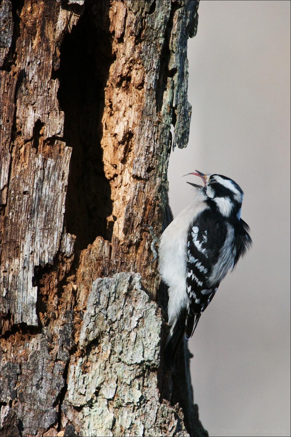 Exposed tongue of Female Downy Woodpecker