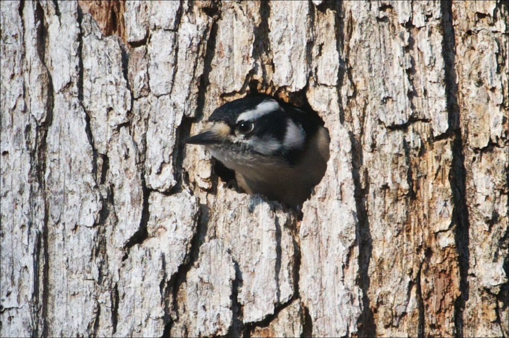 Female Downy Woodpecker peeking out of hole