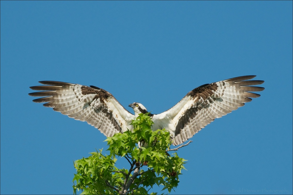 Osprey stretching. It's nest was in a tree not too far out of frame.