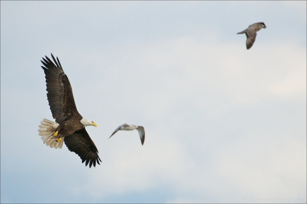 Adult Bald Eagle and two Gulls
