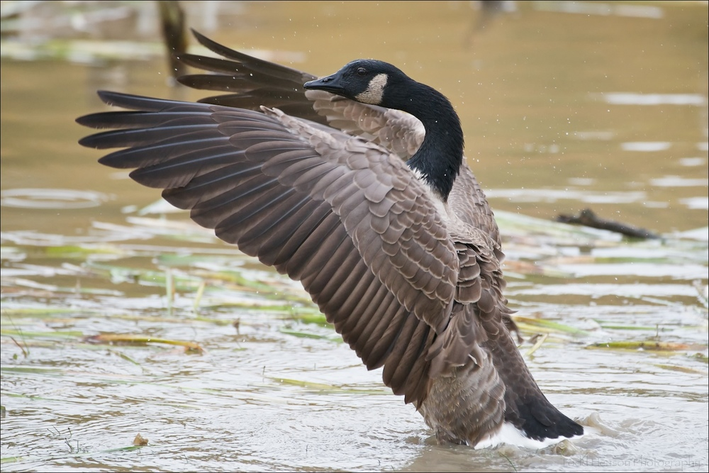 Canada Goose spreading its wings, drying off