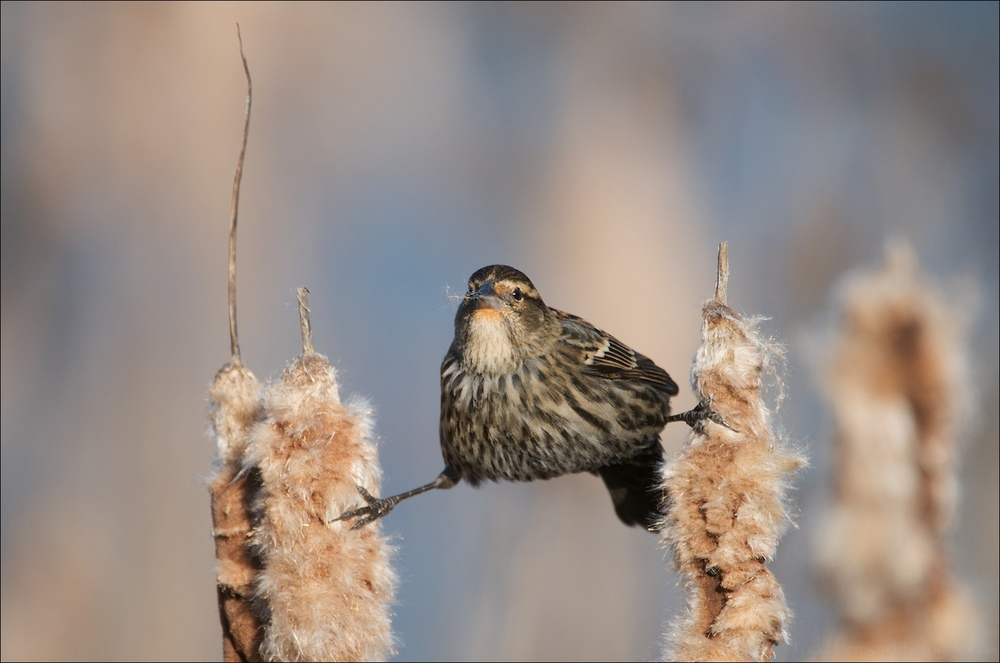 Female Red-winged Blackbird stretching between cattails