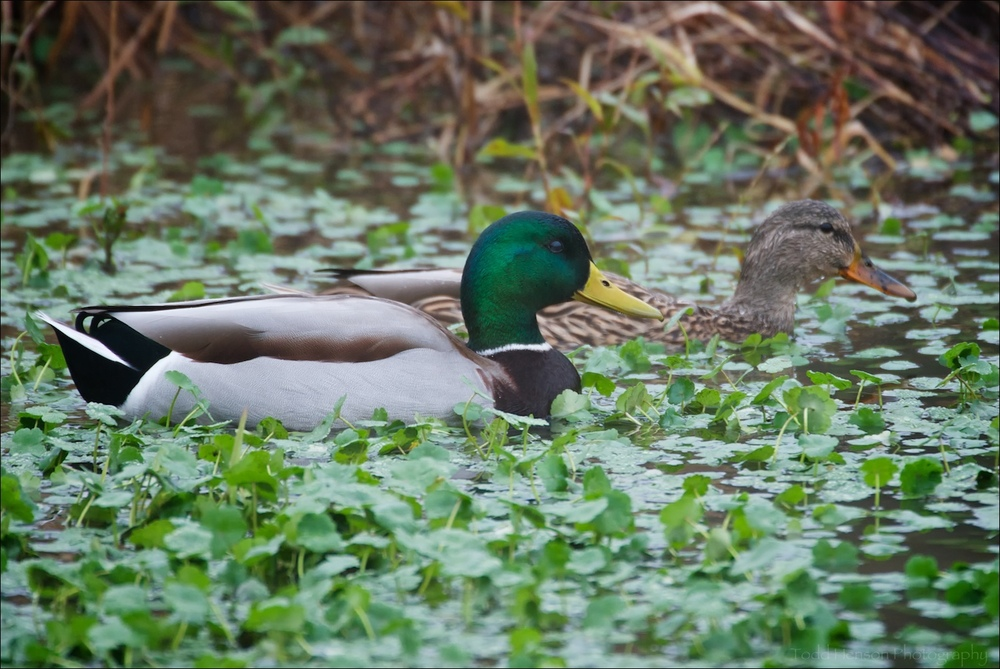 Male Mallard in foreground, female in background