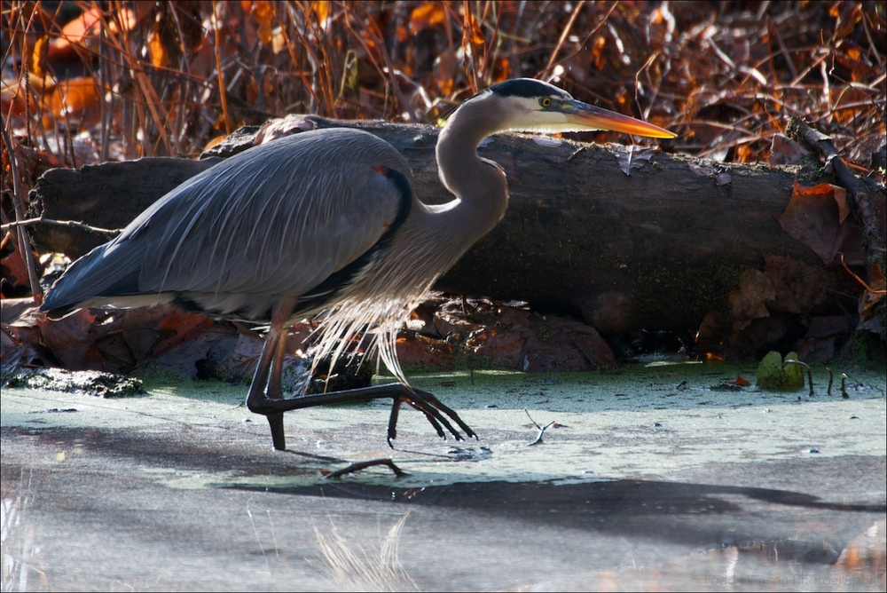 Great Blue Heron hunting for prey in still portion of river