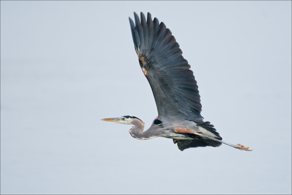 Great Blue Heron in flight. Notice the coloration on its underside.