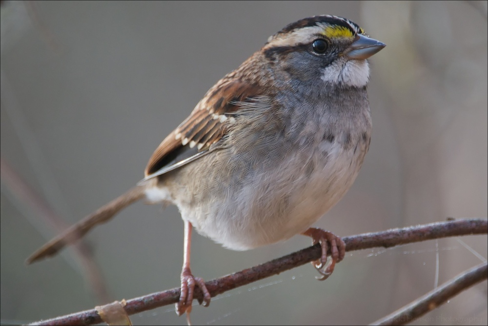 This White-throated Sparrow was one of the first birds to land very close to me after I started using a longer lens. It must have been just within my minimum focusing distance.