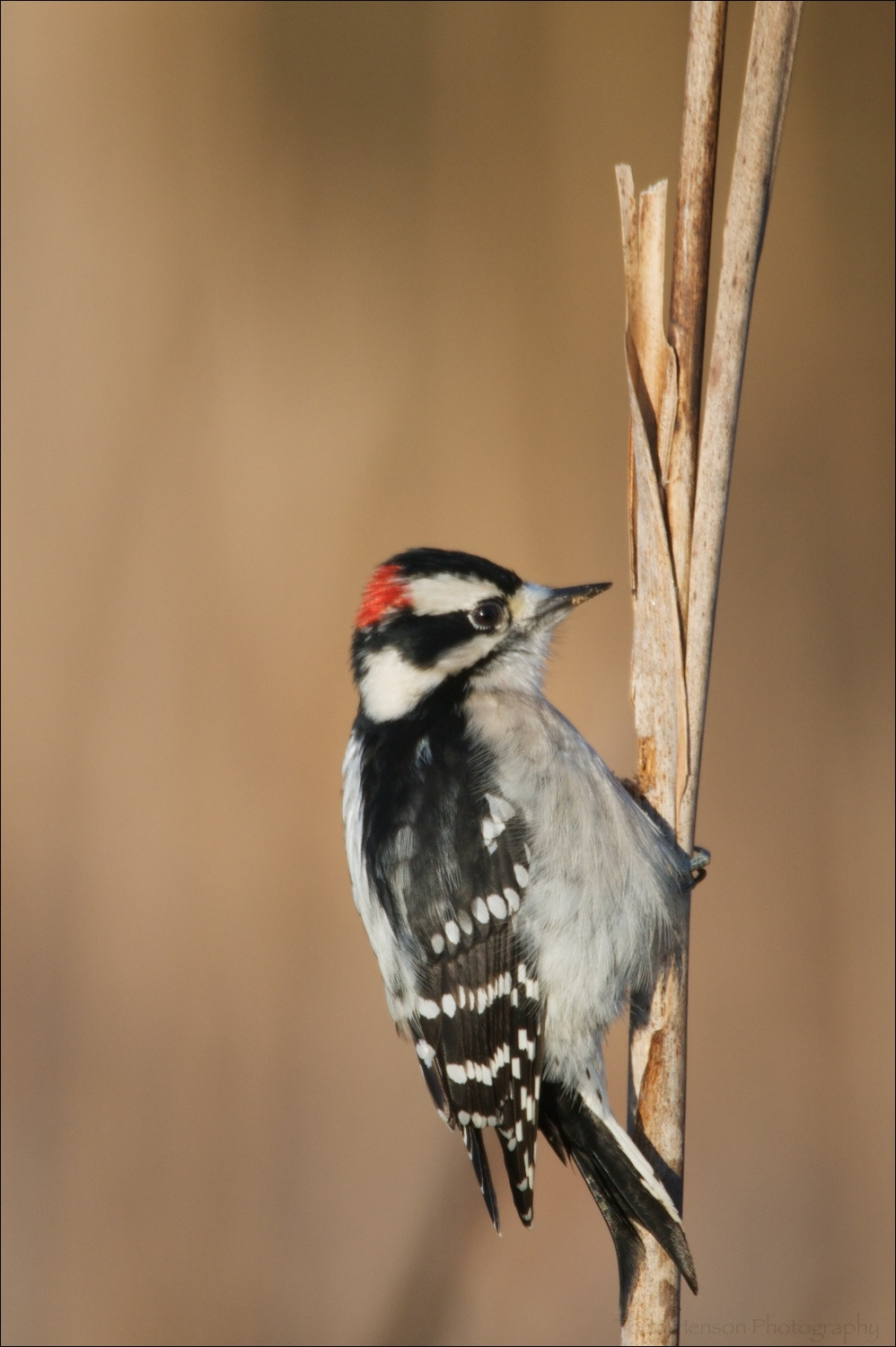 Male Downy Woodpecker on cattail stalk