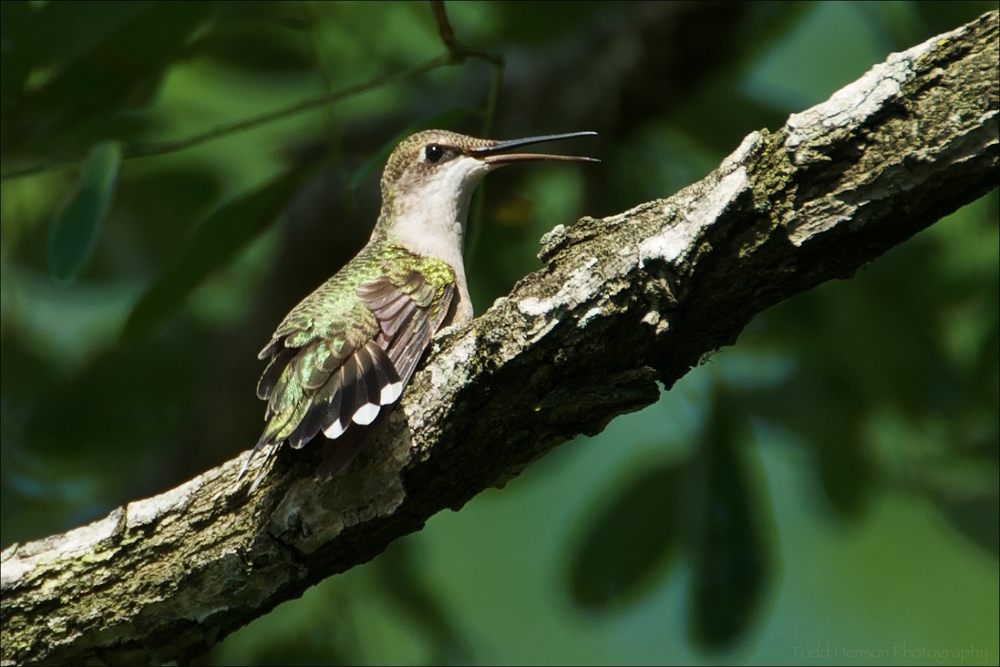 Female Ruby-throated Hummingbird in tree