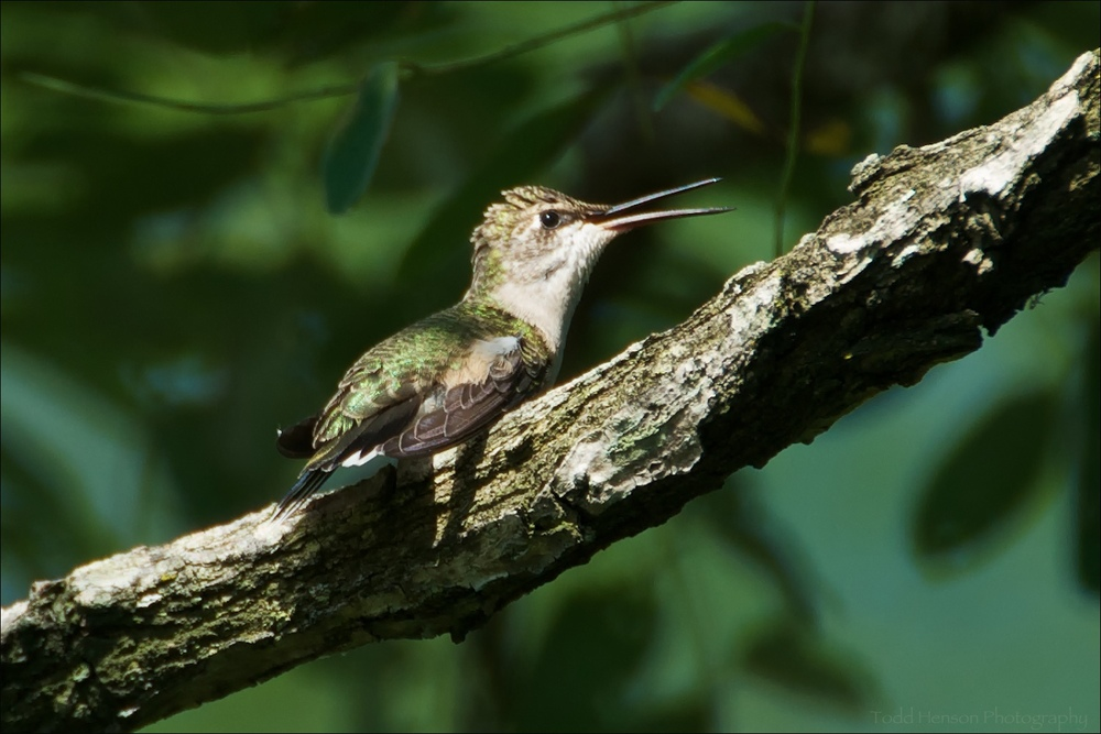Female Ruby-throated Hummingbird after scratching. Notice the raised head feathers.