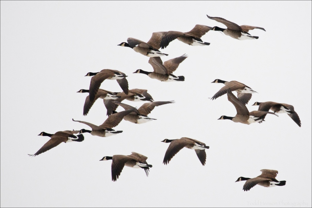 Group of Canada Geese in flight