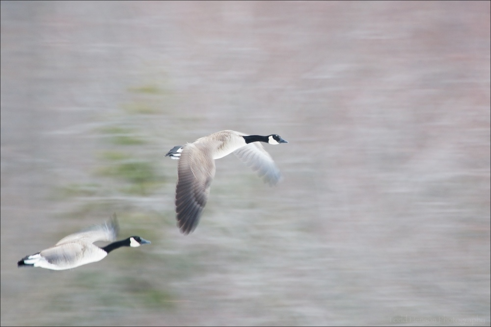 Panning photo of a pair of Canada Geese