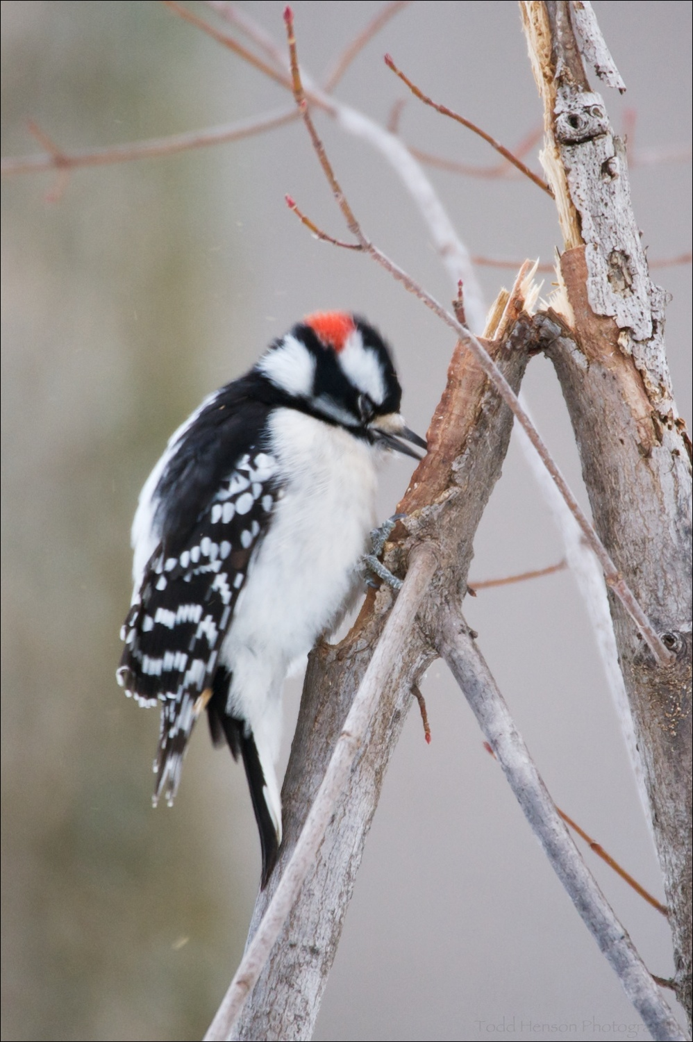 Male Downy Woodpecker, having found another cracked branch, is pecking for insects. Again, notice the closed eyes.