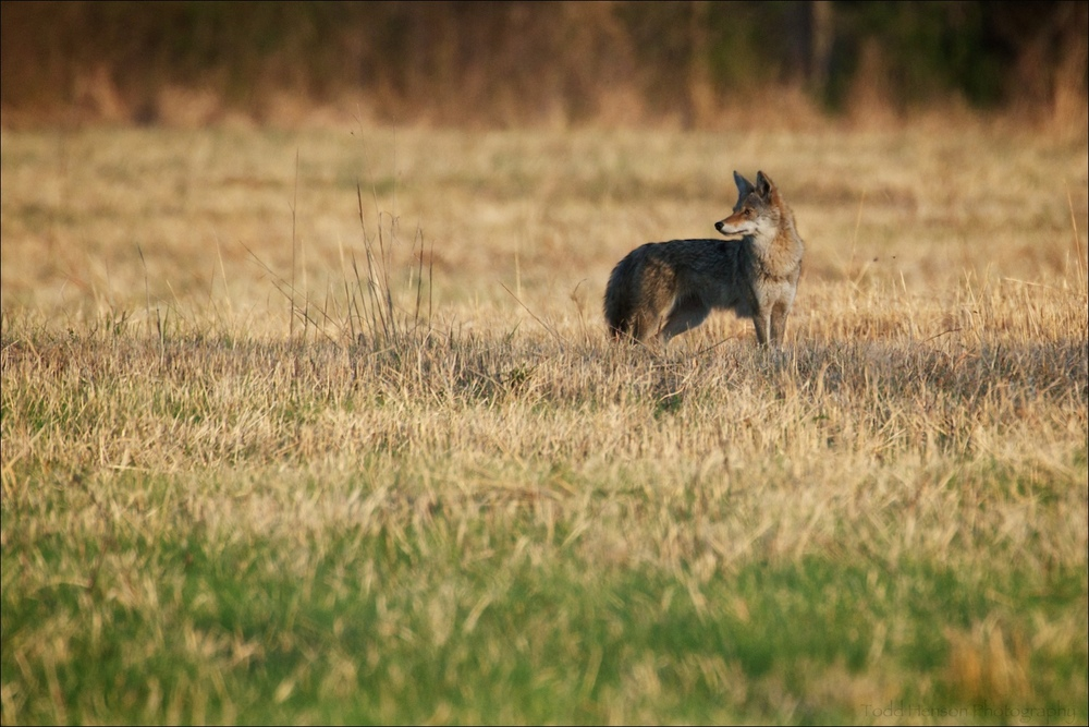 Coyote, always on the lookout