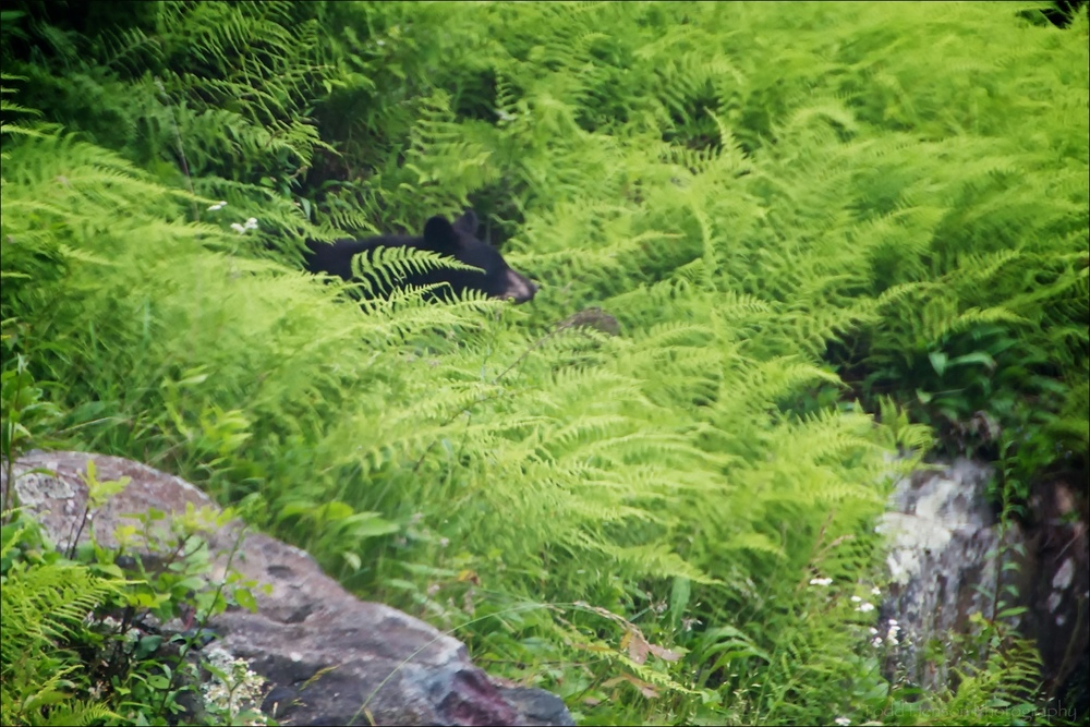 Poor quality photo of Black Bear hidden among ferns