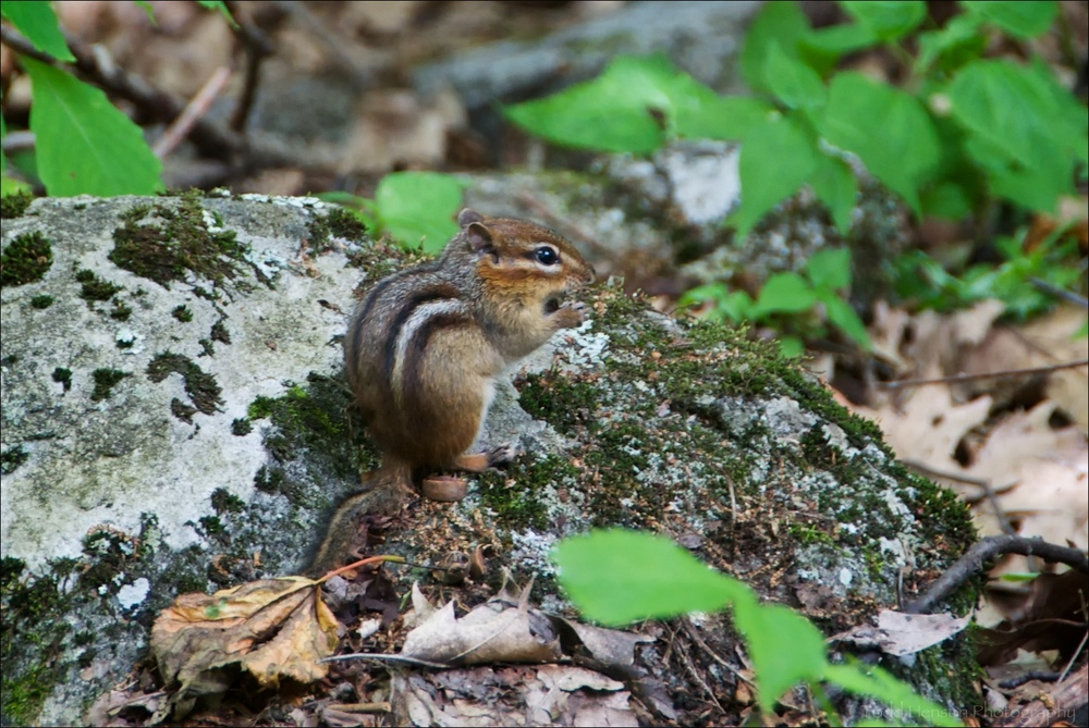 Eastern Chipmunk in Blue Ridge Mountains