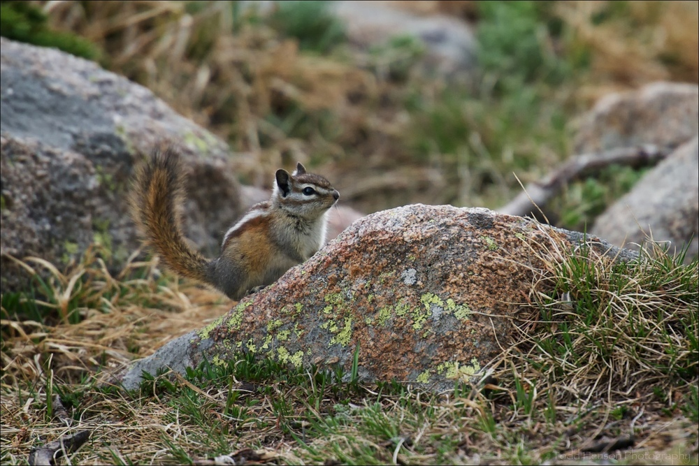 Least Chipmunk on lichen covered rock, tail erect
