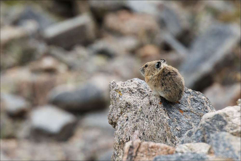 American Pika watching downslope
