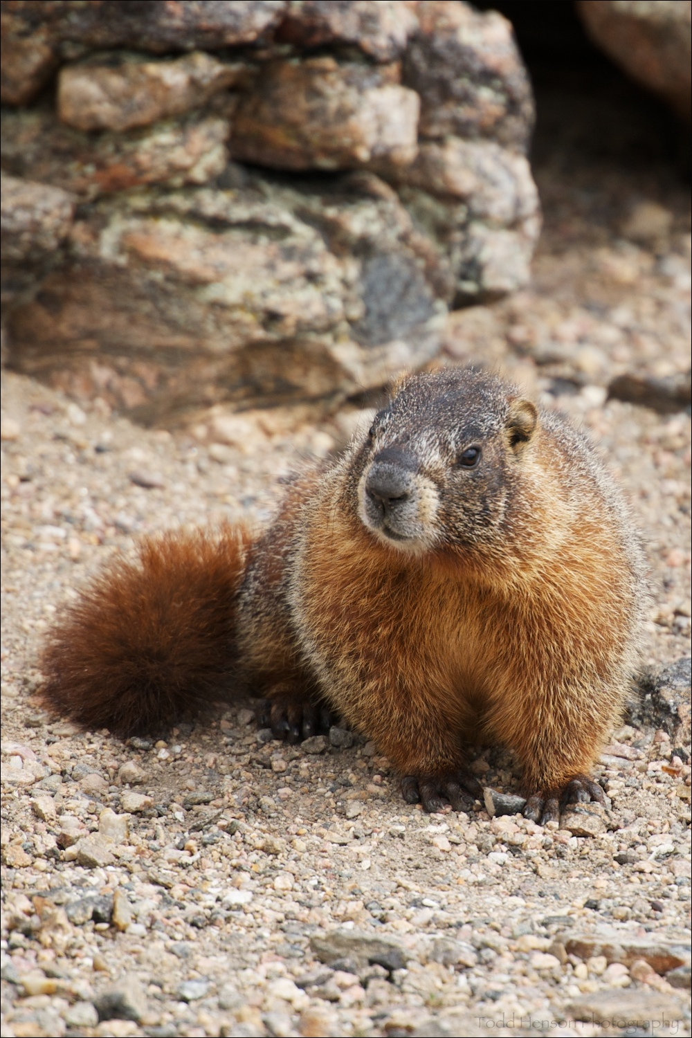 Yellow-bellied Marmot posing