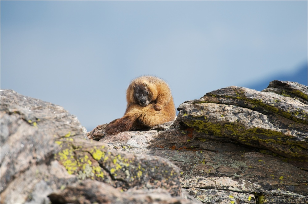 Yellow-bellied Marmot grooming